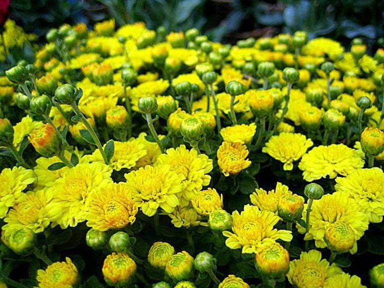 Hình ảnh Hoa Cúc - Hoa Tươi Gò Vấp
